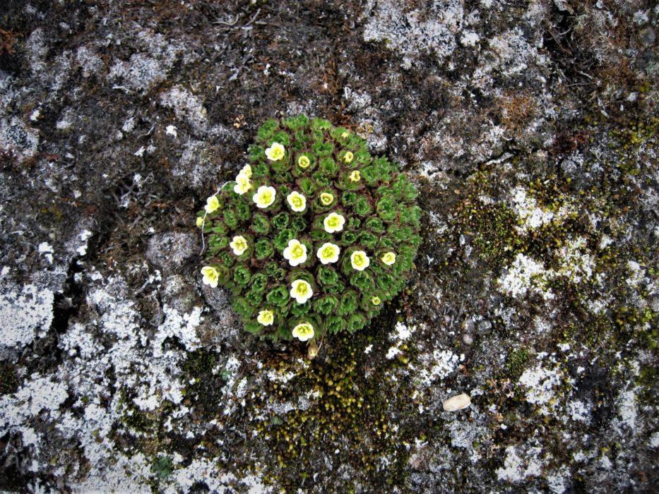 Mountain avens (Dryas octopetica)
