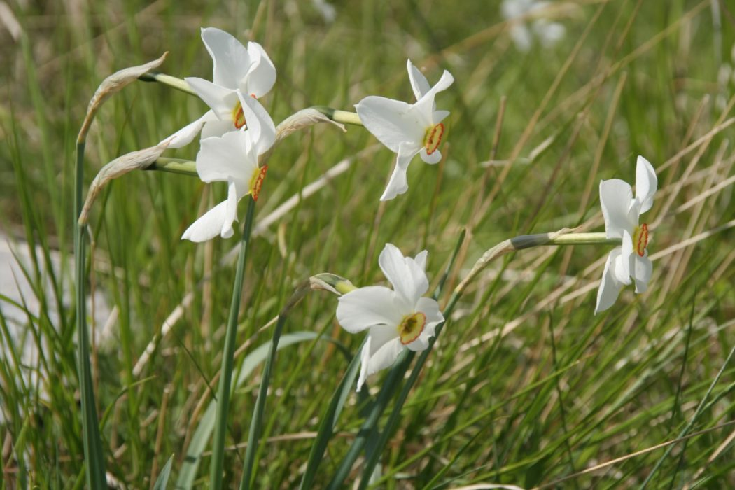 4 The Meadows Are Full Of Poets Narcissus In Early Summer