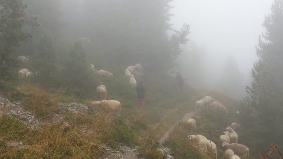 Flock Of Sheep In The Fog