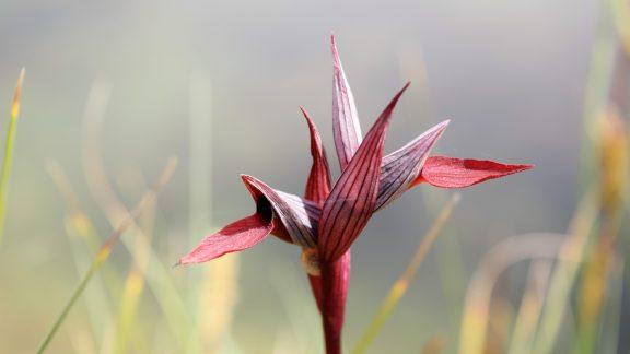 Crimson Ballet Dancer Tongue Orchid