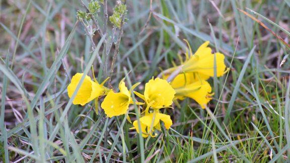 A Clump Of Hoop Petticoat Daffodil