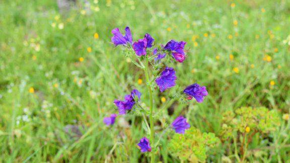 Purple Vipers Bugloss