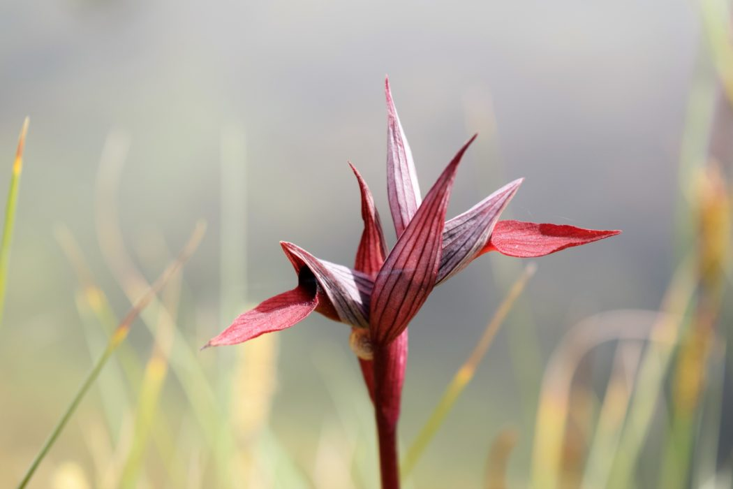 Crimson Ballet Dancer Tongue Orchid