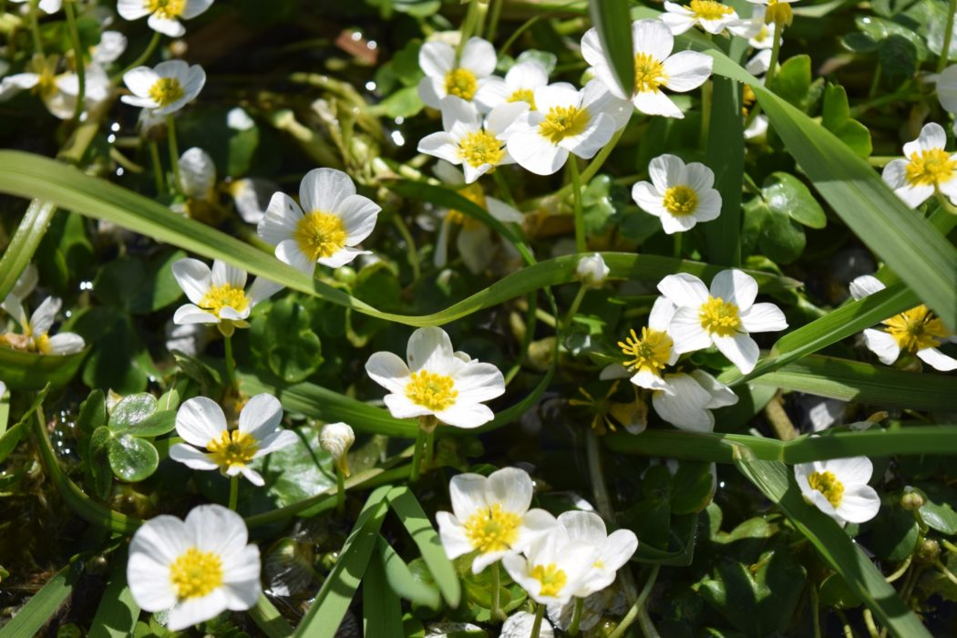 A Carpet Of Water Crowfoot