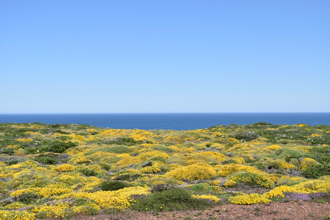Carpet Of Flowers On The Clifftops Of Costa Vicentina