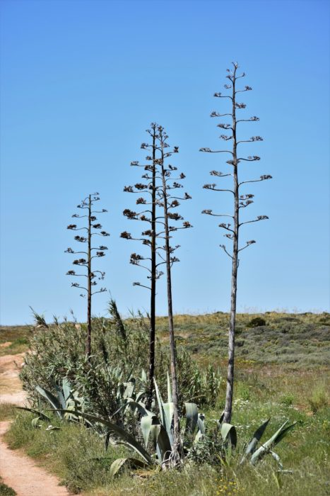 Huge Majestic Flower Spikes Of Century Plants
