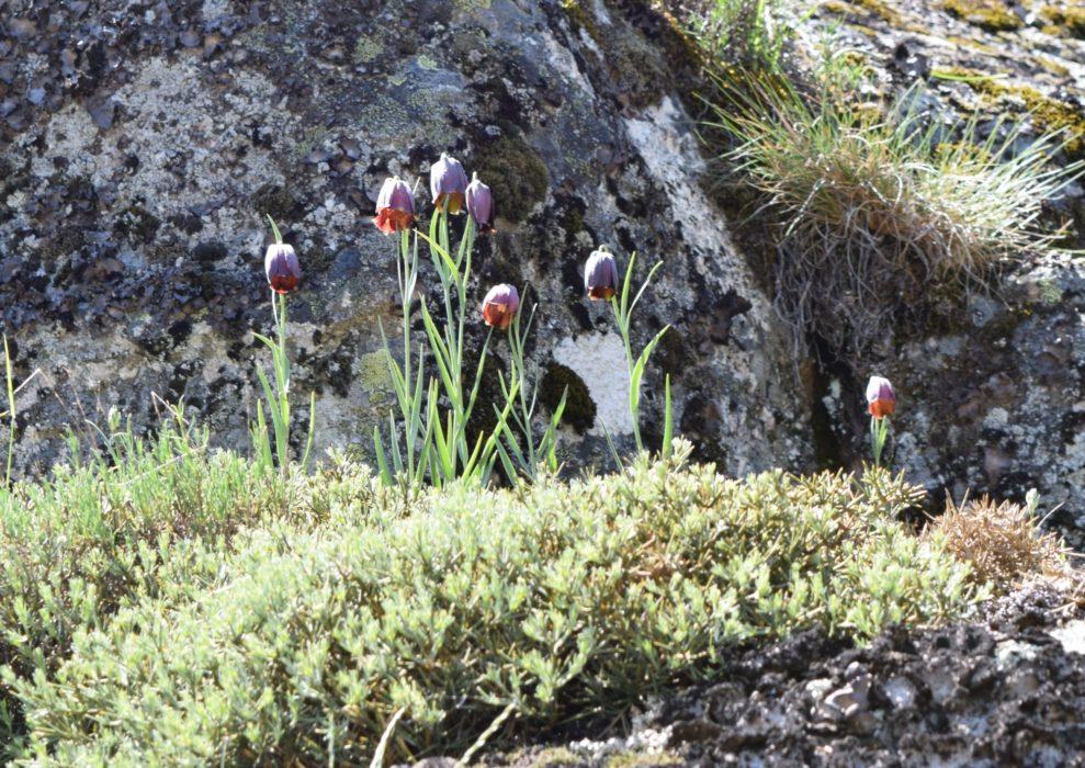The Nodding Heads Of Fritillaria Nervosa Sub Species Nervosa