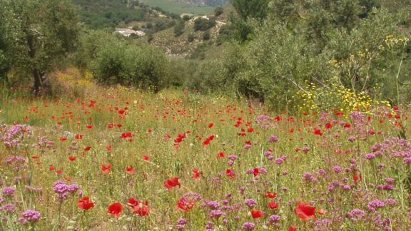 Andalucia Wildflowers Near Ronda In Springtime
