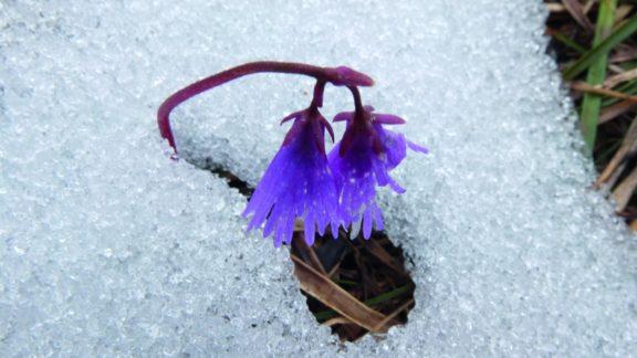 Alpine Snowbell