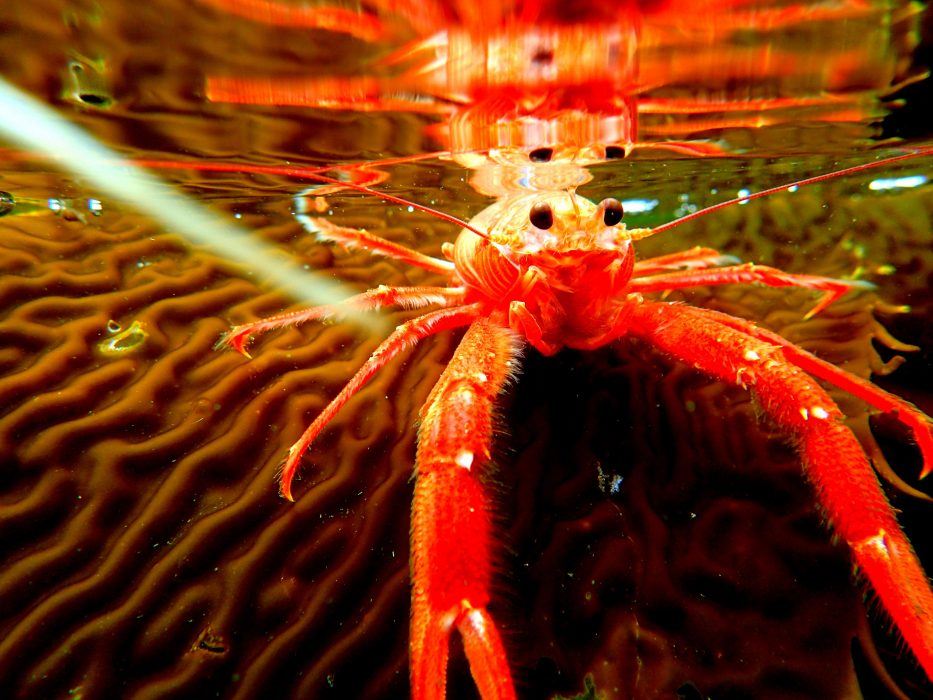Cannery Row Crayfish Snapped From An Sup