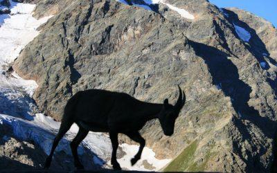 Ibex Visitor To The Gleckstein Hut