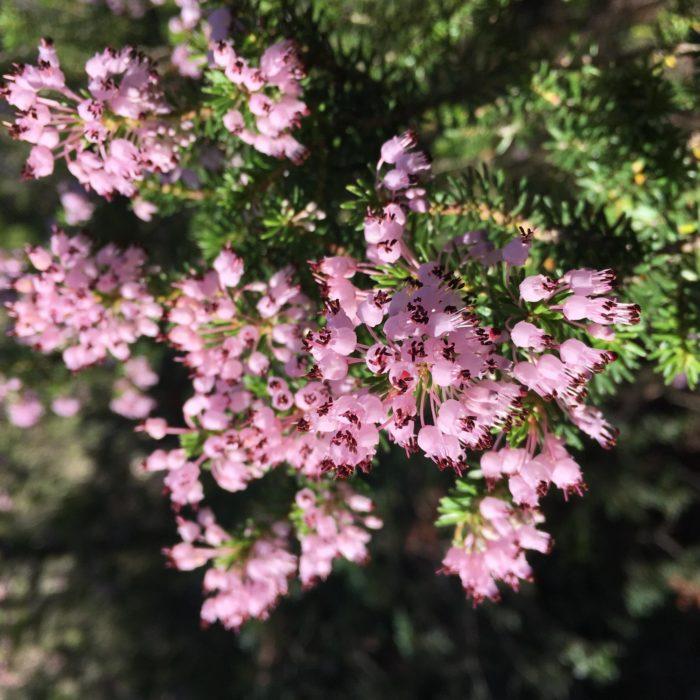 19 Erica Multiflora