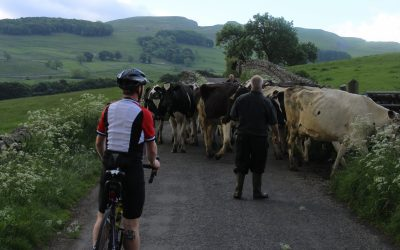 004 Ey Up Cows On T Road An Early Delay En Route To Settle