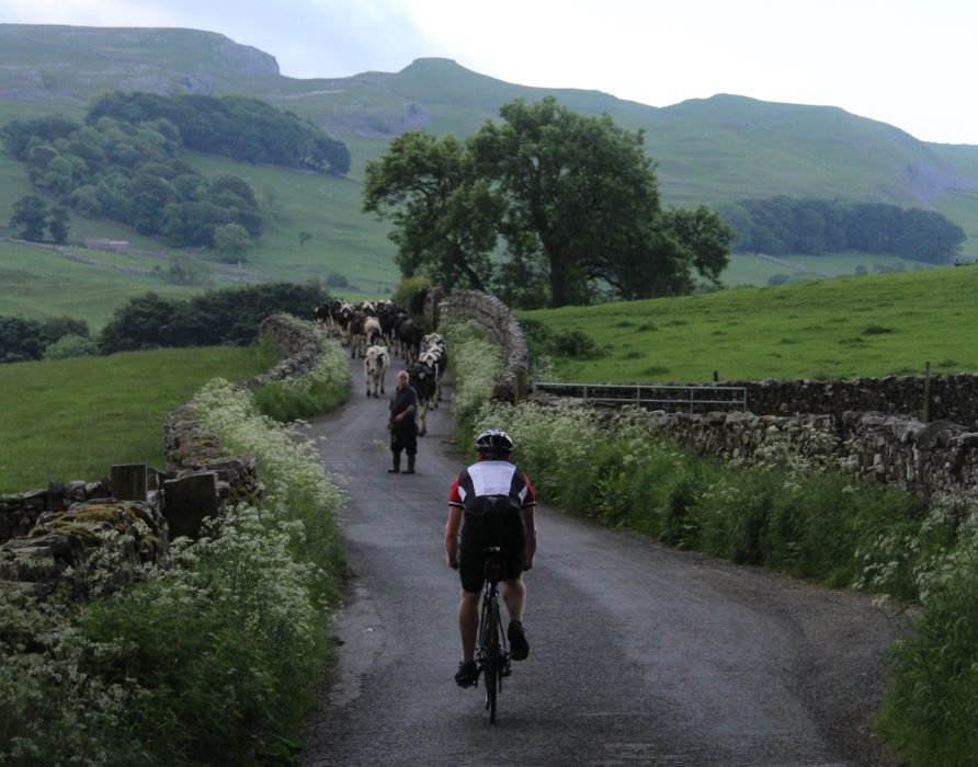 003 Ey Up Cows On T Road An Early Delay En Route To Settle