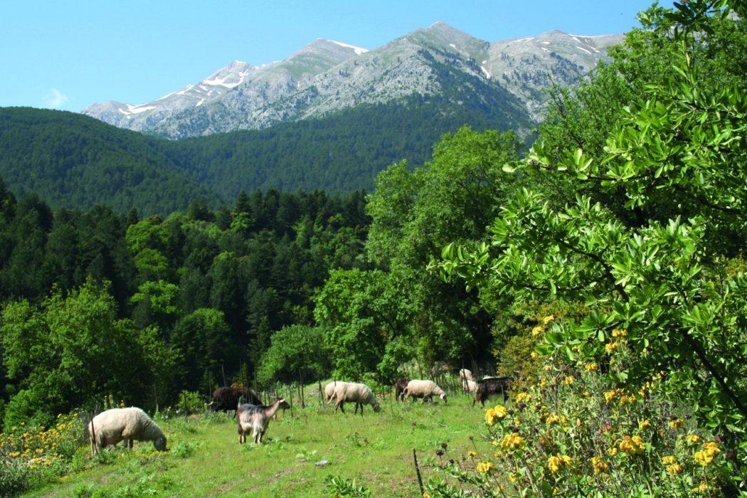 Sheep Grazing Above Anavriti