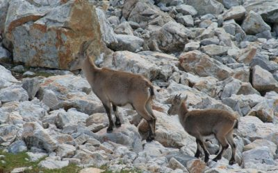 4 Female Ibex And Young With Short Horns