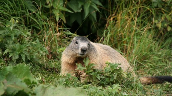 6 Marmots Are Always A Delight