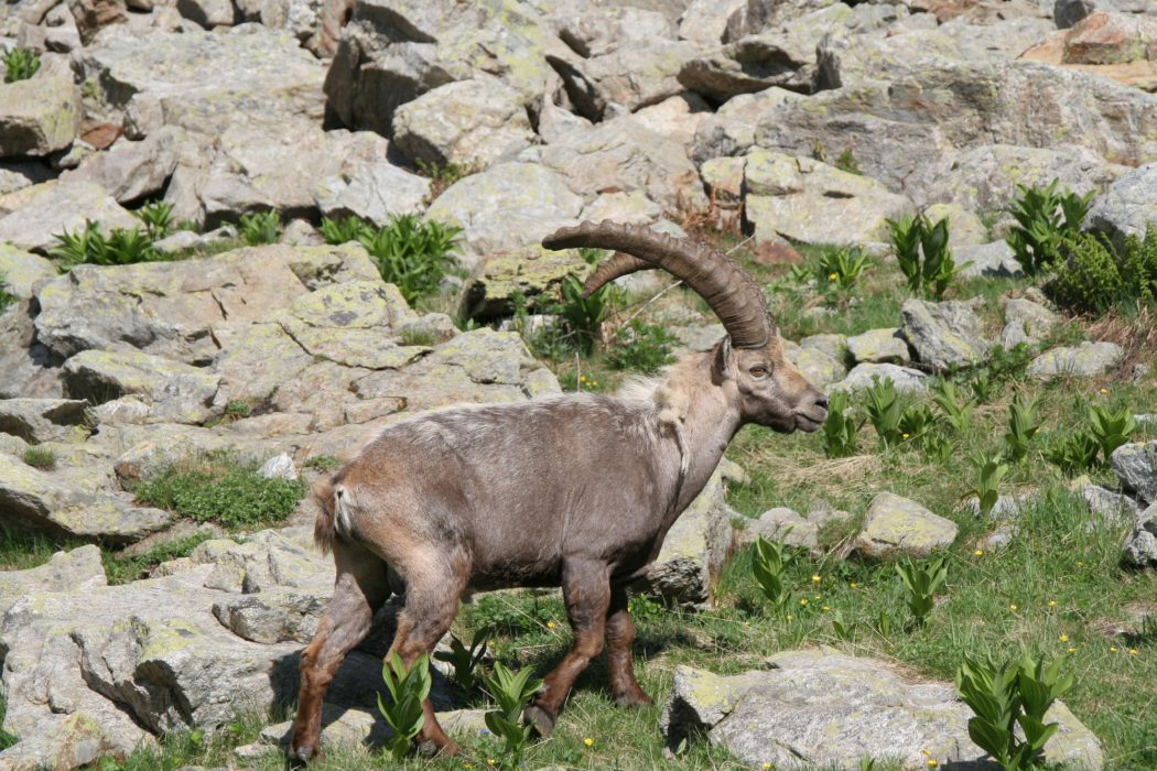 3 Male Ibex Have Impressive Horns