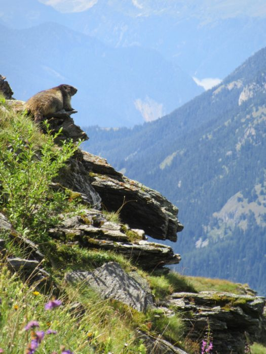 A Marmot On Duty in the Vanoise National Park