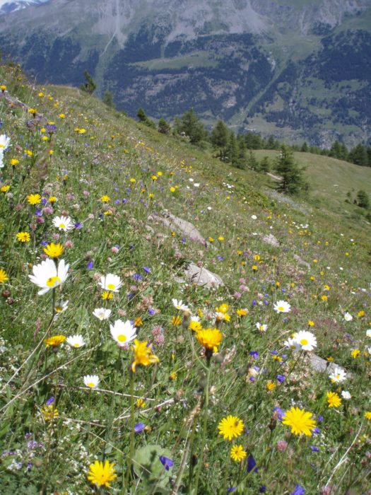 Fantastic Flower Meadows In The Maurienne
