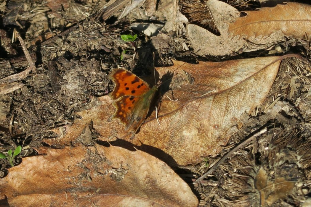 A Comma sunning itself