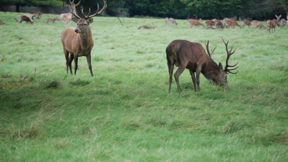 The deer of Studley Royal