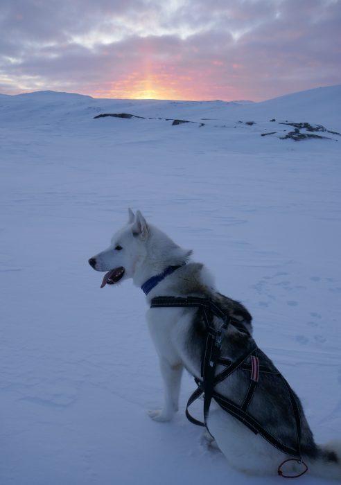 First days with Joker the Greenlandic husky wonder dog