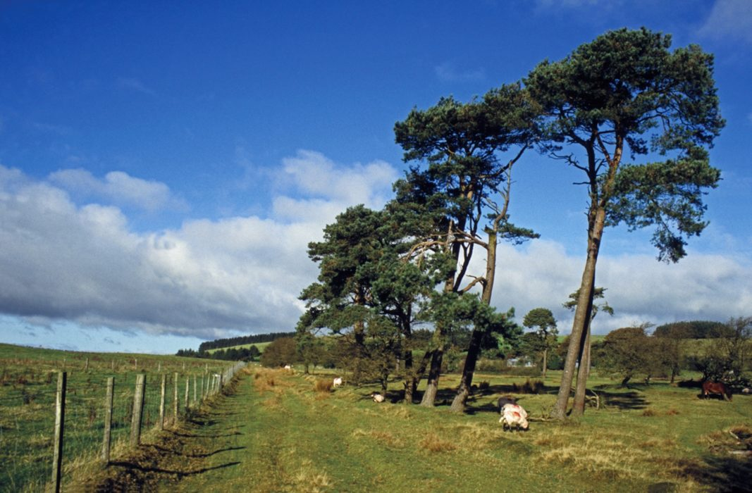 Scots pines stand beside a grassy track on the way towards Hope's Castle Farm