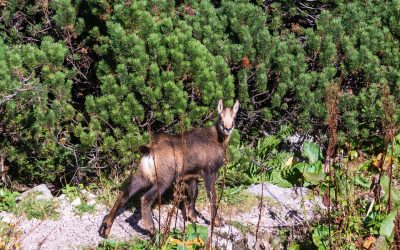 On the way down we spotted a herd of chamois with young