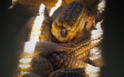 Precious maize cobs in store