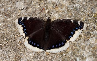 Camberwell Beauty butterfly