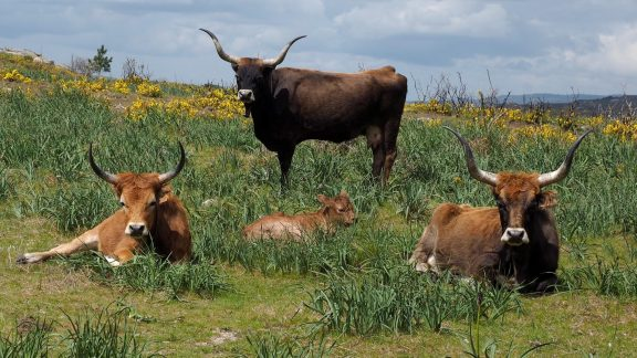 Long-horned barossa cattle