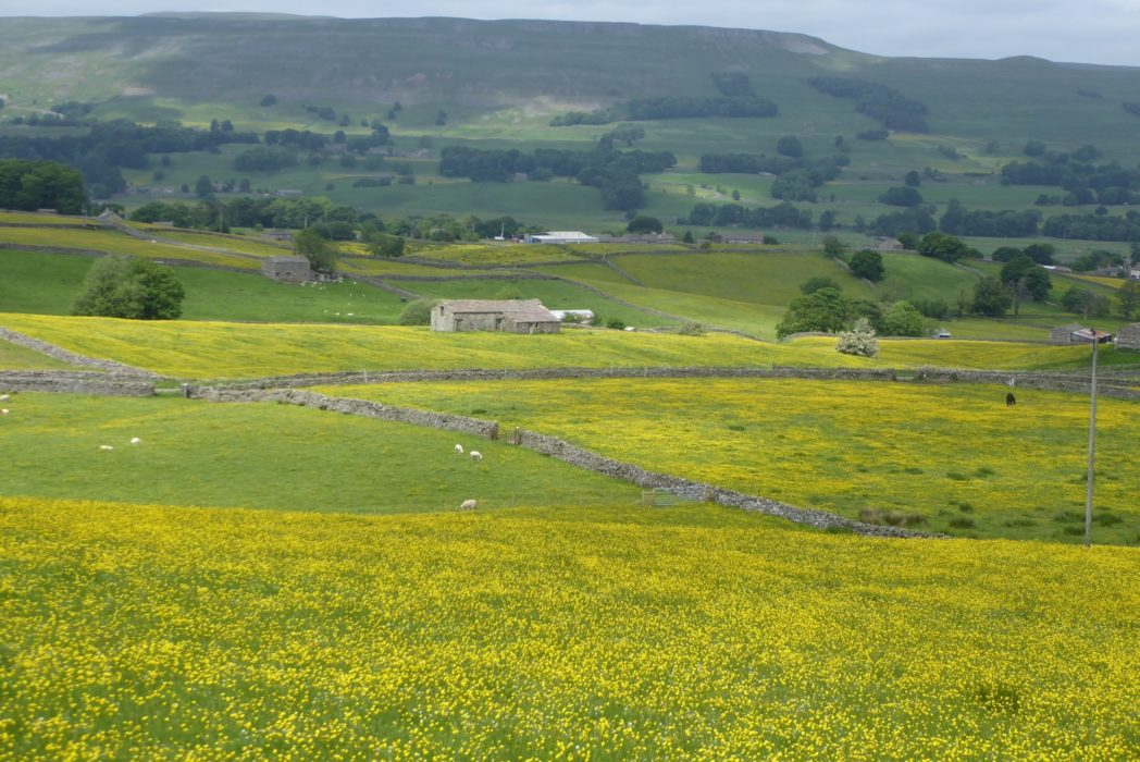 Yorkshire Dales meadows above Hawes in early summer (Day 1 - day 8 in the guide).