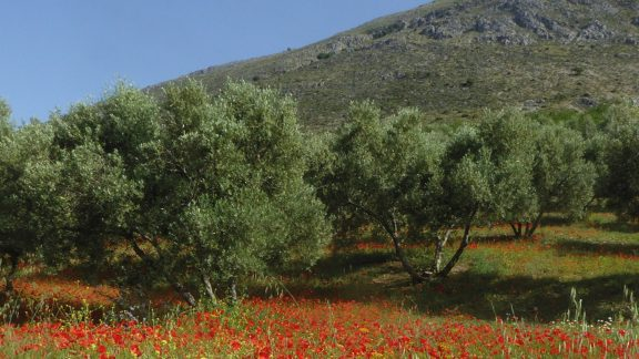Poppies beneath the olives en route to Riogordo (Day 6)