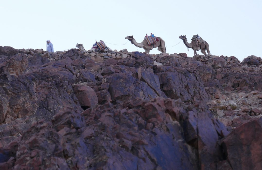 Camels can be hired to help you up Mt Sinai