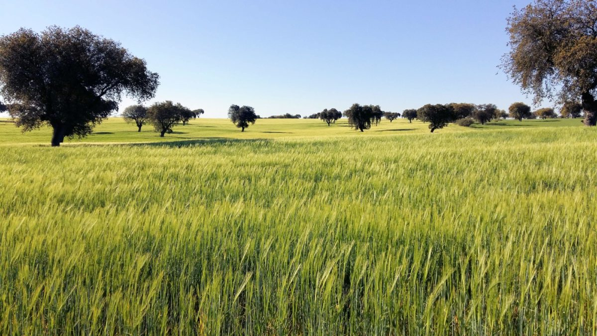 Holm Oak Dehesa with crops of barley