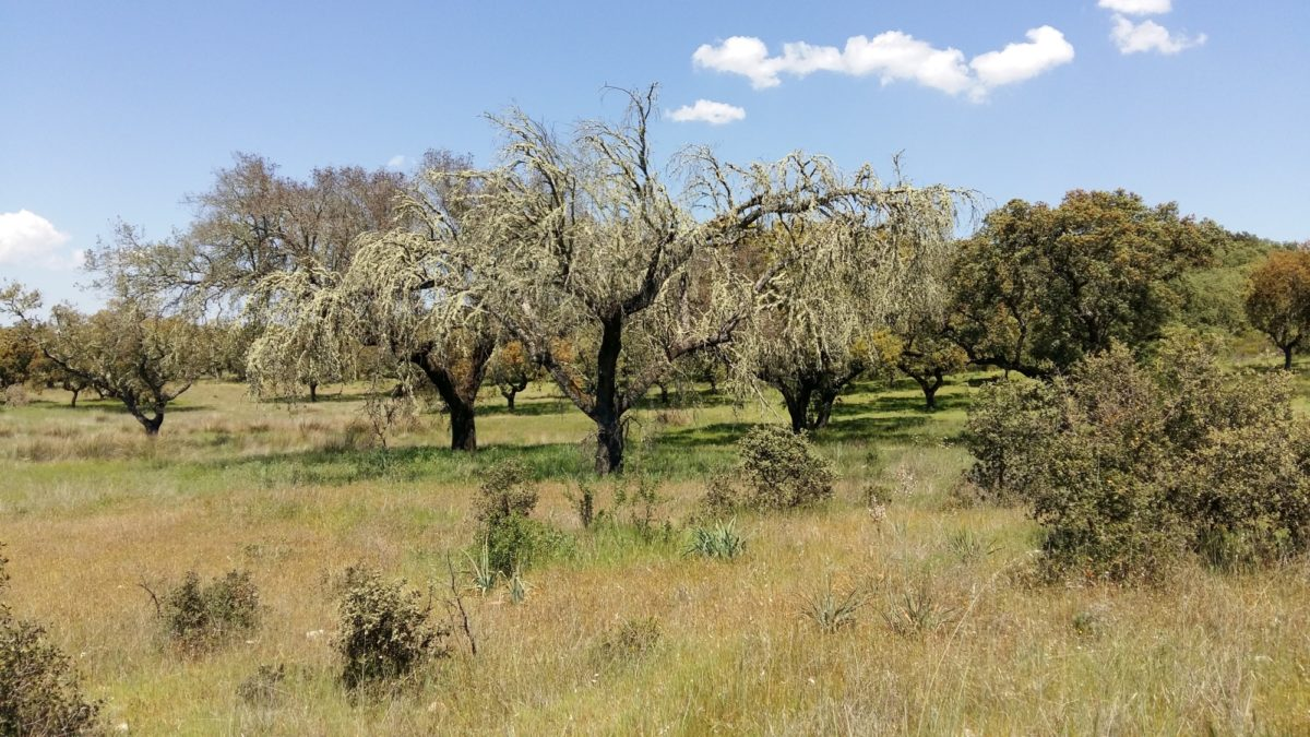 Lichen-covered oaks in Dehesa
