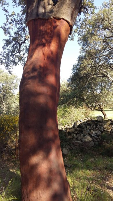 Recently harvested cork oak