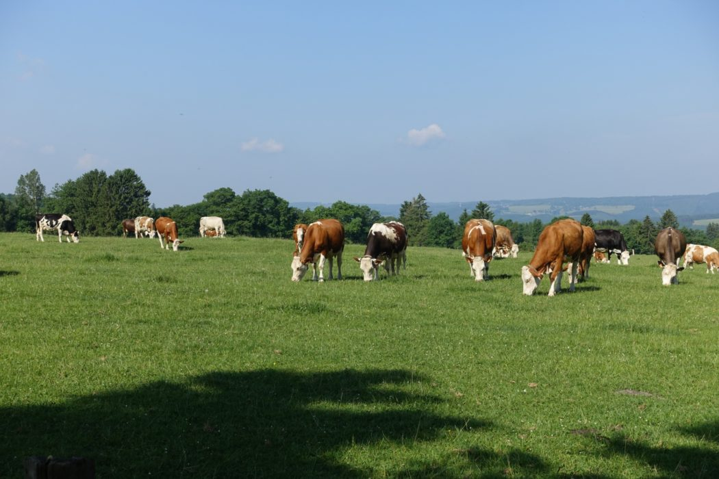 Cattle graze near Stavelot, ignoring the beautiful view (Wallonia)