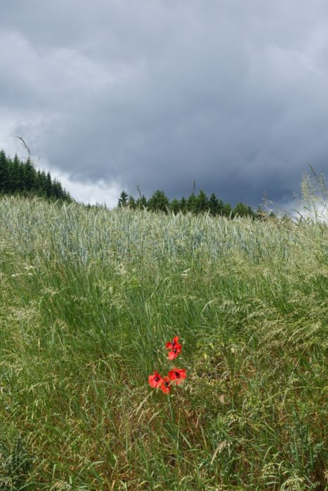 Poppies defy the coming storm