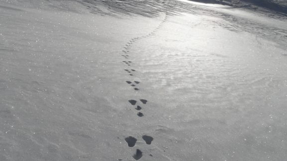Mountain hare tracks in the Haute Maurienne