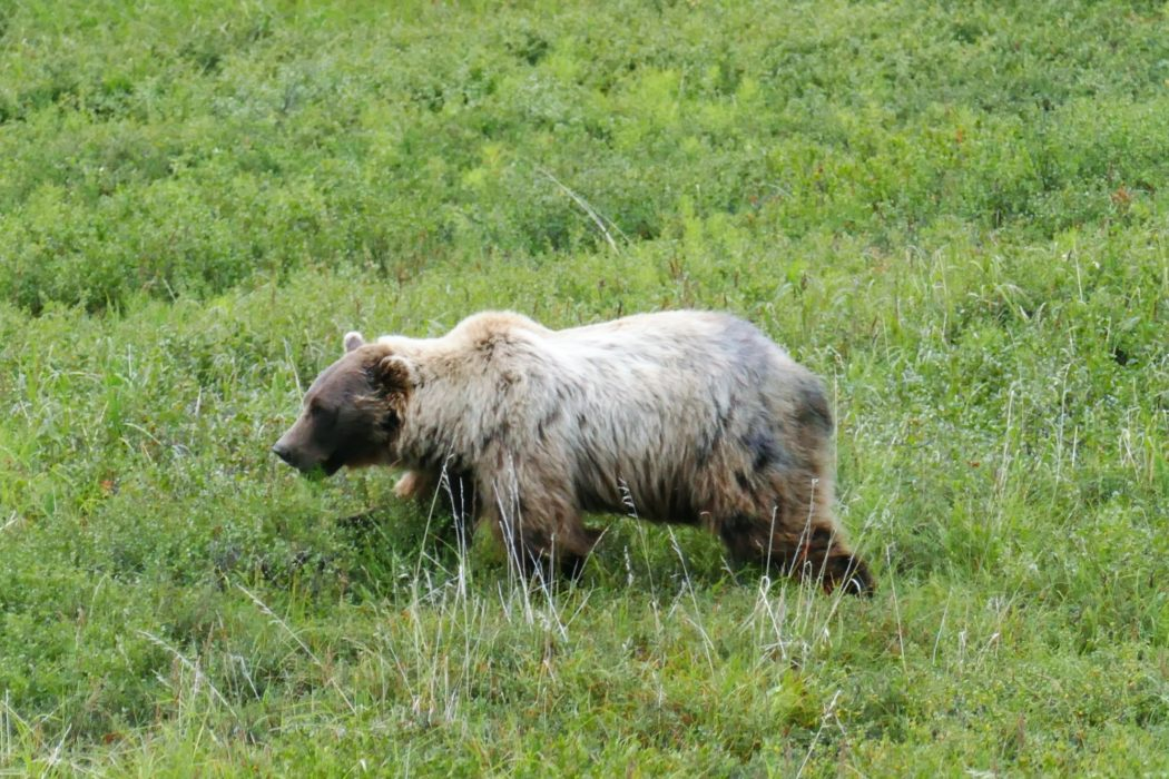 Bear at Denali Park Road