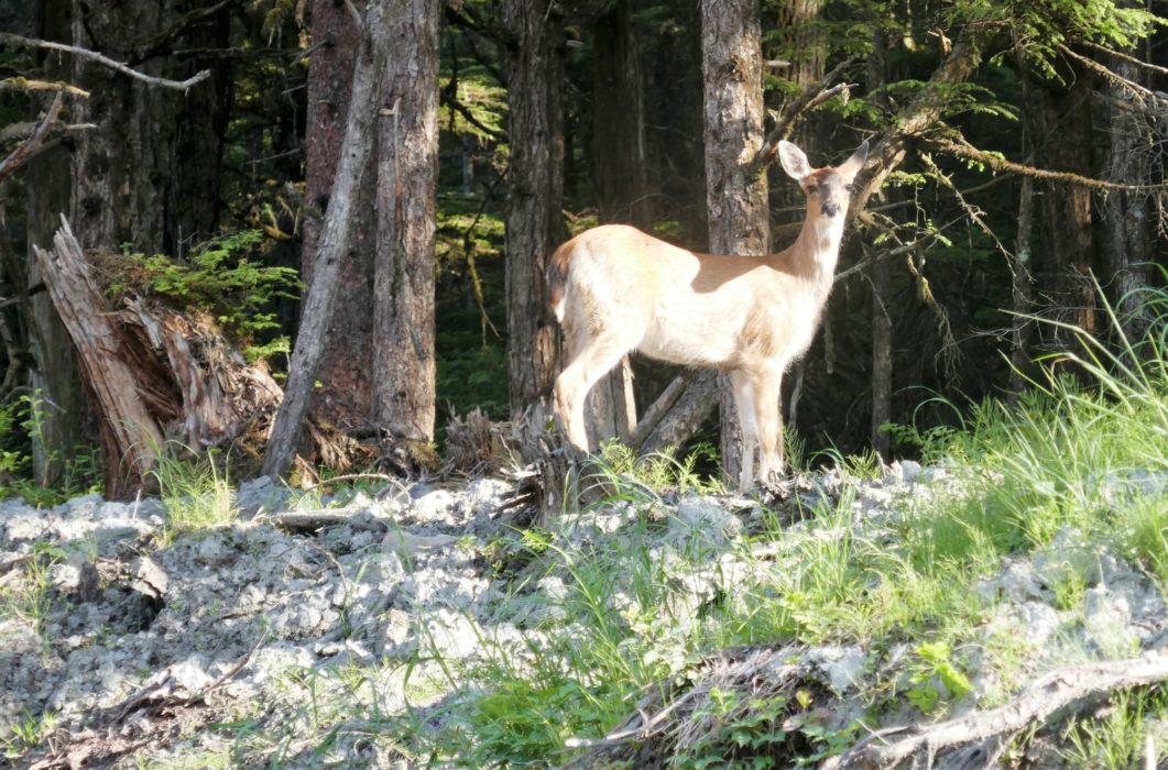 Caribou near Juneau