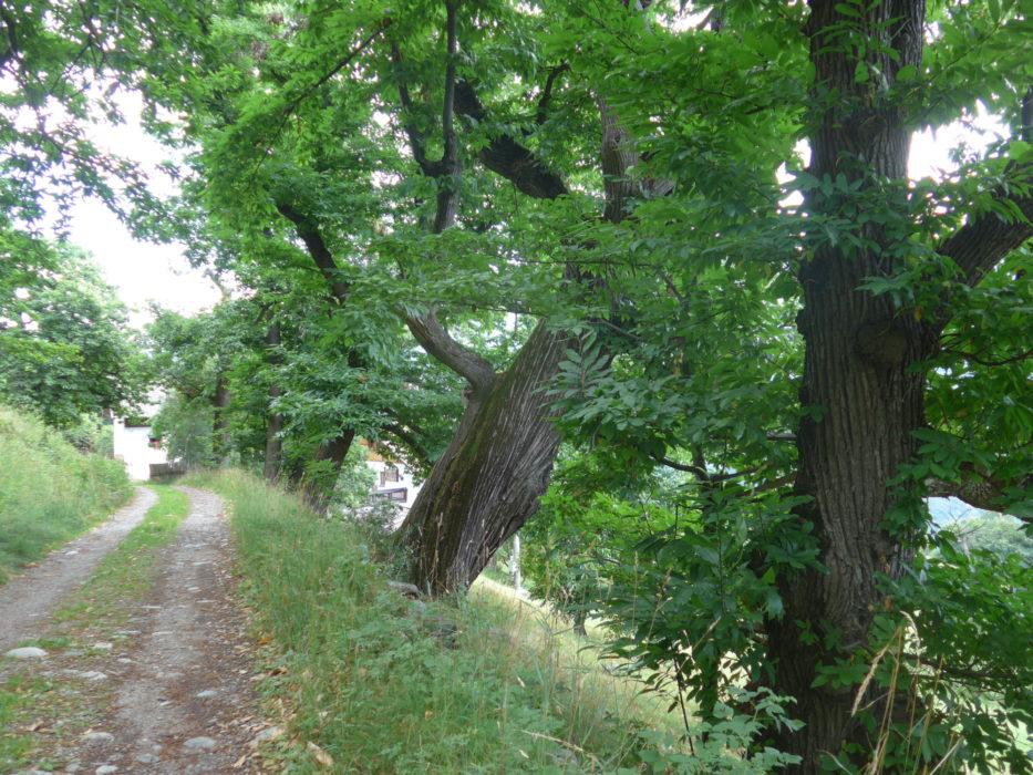 Mature sweet chestnut trees on the Keschtnweg