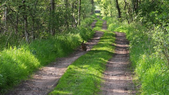 Pic13 Hare On A Track Near Langwathby