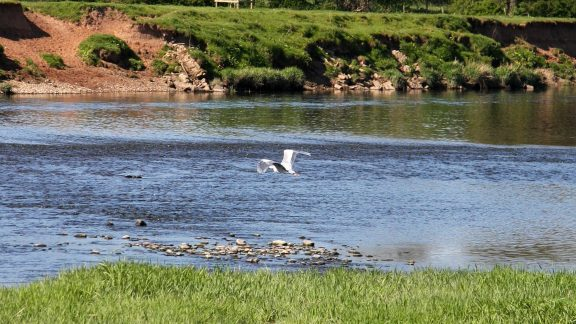 Pic15 Grey Heron Over The Eden