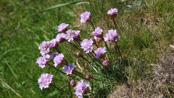 Pic6 Sea Thrift Bursts Into Vivid Pink Blooms On The Solway Marshes In Late Spring And Early Summer