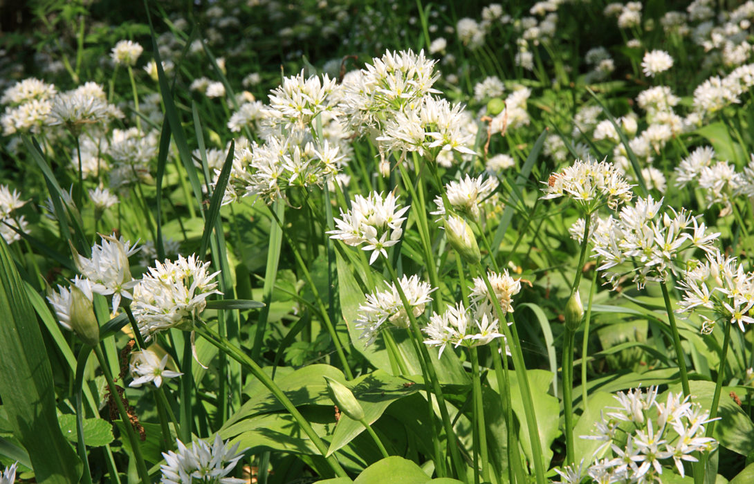 Pic12 The Woodland Of The Eden Valley Is Home To A Variety Of Species Including Wild Garlic