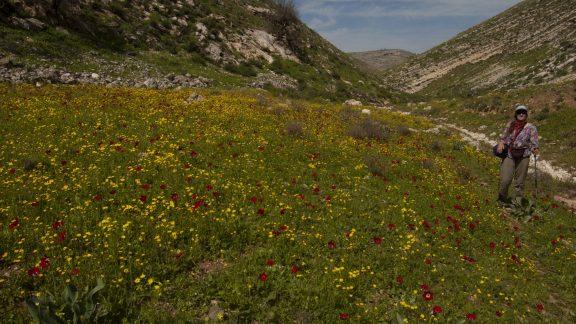 Di Taylor in north Jordan exploring routes for Tony and Di's guide to Jordan, Walks, Treks, Caves, Climbs and canyons.