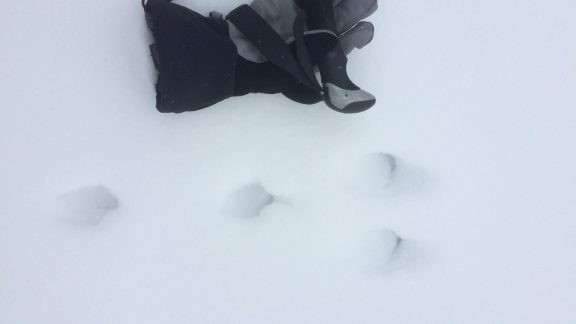 Animal tracks are fun to discover in the snow. Here a rabbit or hare tracks can be seen, traveling from the left of the photo to the right